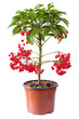 Blossoming plant of ardisia in flowerpot isolated on white