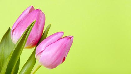 Zwei rosa Tulpen