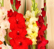Beautiful colorful gladiolus on wooden background close-up