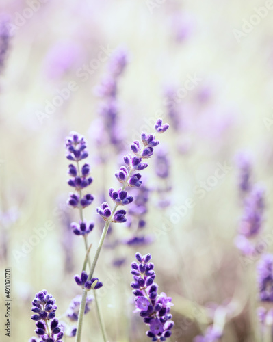 Lavender © B. and E. Dudziński