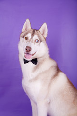 Siberian Husky on the lilac background