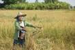 Rice farmer in field