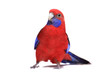 Fototapeten,isoliert,rare,vögel,tropisch
