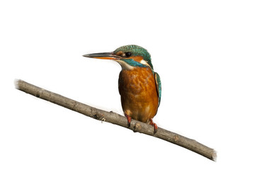Female Kingfisher isolated on white Background