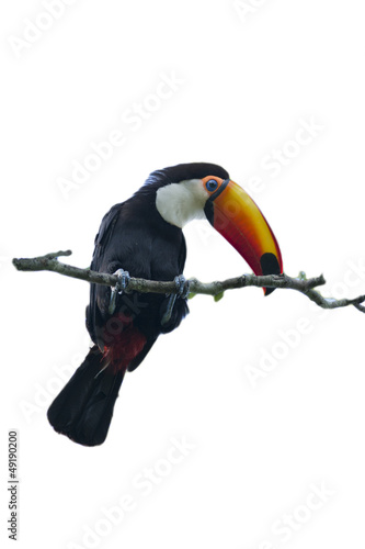 Foto op Canvas Toekan Toucan on a Branch isolated on white Background