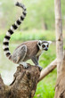 The portrait of Lemur (Lemuriformes) on the tree