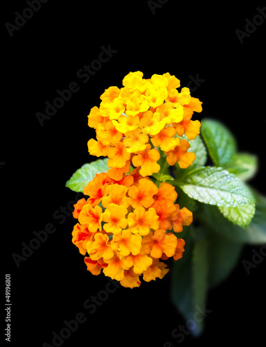 Tropical flowers Lantana isolated