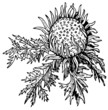 Stemless carline (Carlina acaulis)