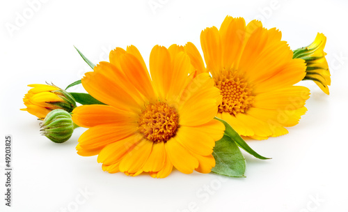 Poster Madeliefjes Calendula. flowers with leaves isolated on white