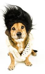 dachshound