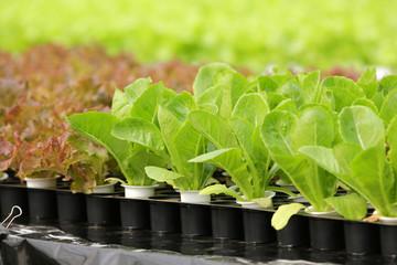 Organic hydroponic vegetable garden