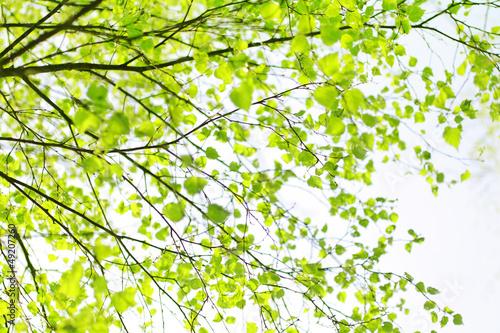 wiosenny-brzoza-galezi-drzewa