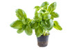 Basil plant in plastic pot, isolated on white