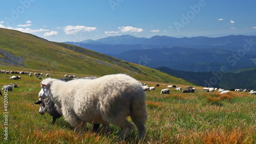 sheep on mountain pasture with jingle bells