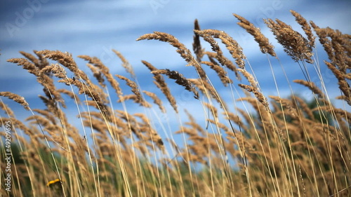 high grass waving on the wind