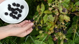 woman hand pick gather ripe timbleberry rubus plant bush dish poster