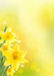 canvas print picture - spring background with daffodils