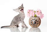 funny grey kitten meowing poster