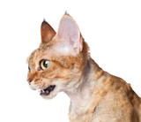 devon rex cat meowing poster