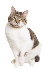 domestic cat with green eyes sitting on isolated white