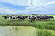 Cows in a meadow with a green pond, The Netherlands.
