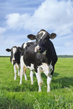 Holstein-Friesian cattle in a green Dutch meadow