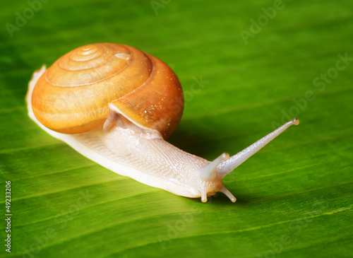 Snail creeps on green leaf.
