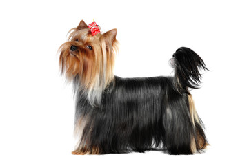 Yorkshire terrier  dog in studio