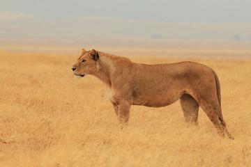 Lioness Standing, Ngorongoro Crater, Tanzania