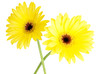 two yellow gerbera blossoms