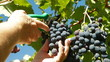 Female Hands Harvesting Grape