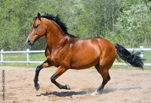 Bay horse of Ukrainian riding breed
