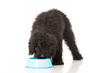 Black poodle - Schwarzer Pudel