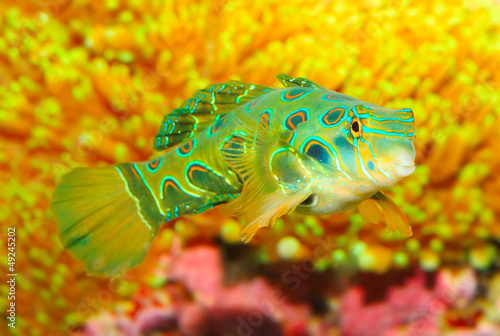 The Mandarinfish or Mandarin dragonet (Synchiropus splendidus).