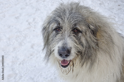 Close up of romanian shepherd head on a snow background