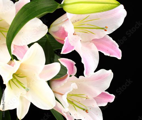 Fototapeten,schön,lily,isoliert,schwarz