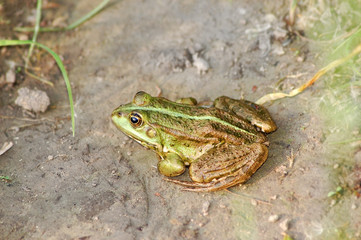 Green frog on the ground near pond