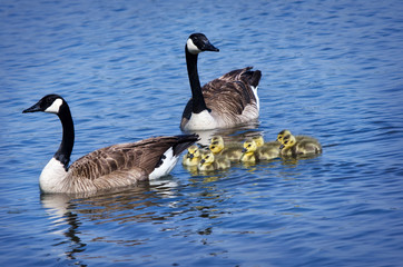 Canada Goose family swimming in the lake