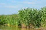 Reed (Scirpus gen.) spinney in river, Ukraine