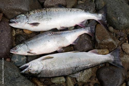Leinwandbild Motiv Freshly caught salmon pink