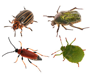 set of four beetles isolated on white