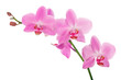 pink orchid branch with five flowers