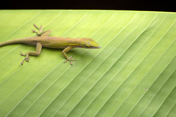 A common green lizard on a palm leaf