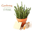 Thyme in a pot.