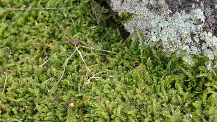 newt triton eft amphibian crawl moss