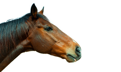 Beautiful brown horse, english thoroughbred isolated
