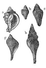 Schnecken - Versteinerungen (Alte Lithographie)