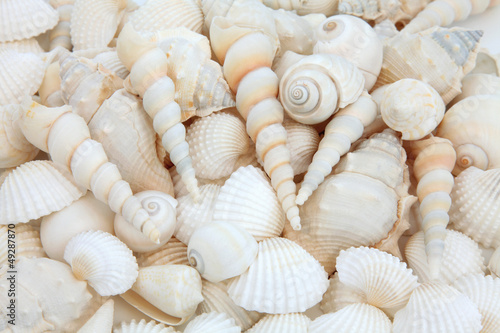 Shell Beauty