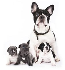 French bulldogs, puppy and dog mom.