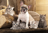 Cat and dog, British kittens and French Bulldog